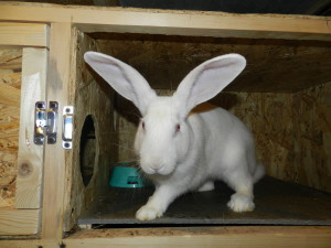Кролик белый великан