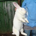 Кролик породы Белый Великан