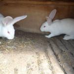 Два кролика Белый Великан в клентке