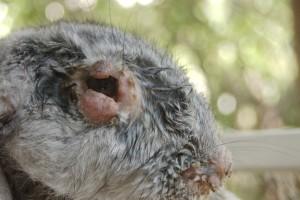 Больной кролик миксоматозом