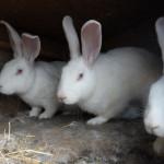 Три кролика Белый Великан