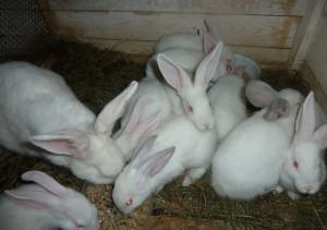 Несколько кроликов - Белый великан