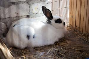 Окрол кроликов