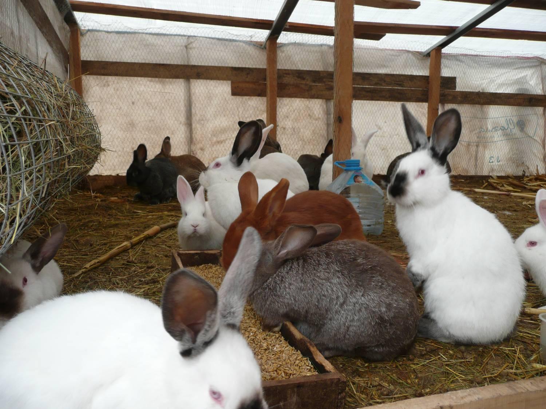 Разведение кроликов в домашних условиях для начинающих 36