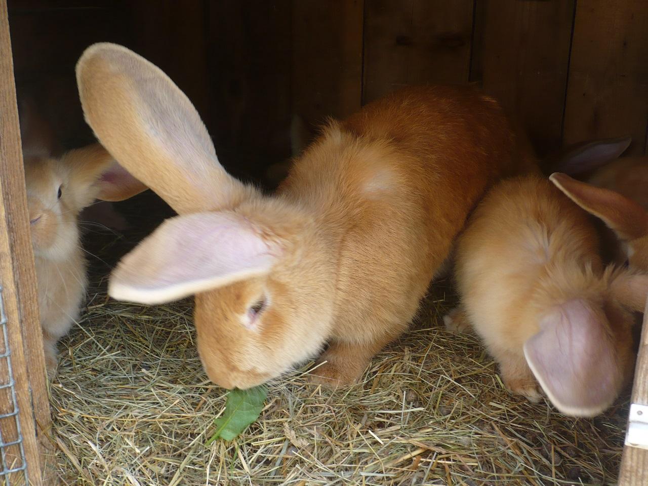 Кормление кролика в домашних условиях