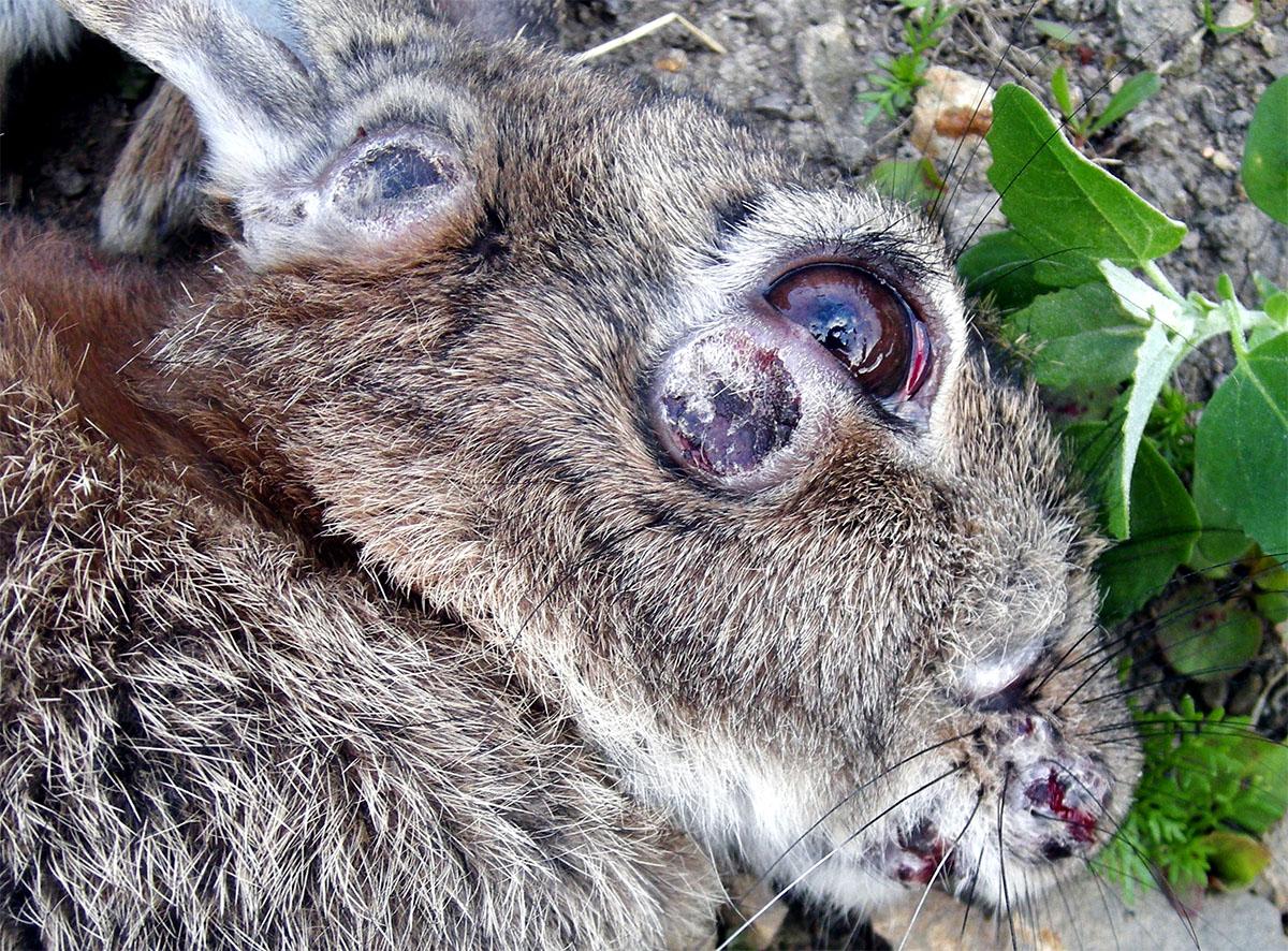 шишки у кроликов чем лечить фото