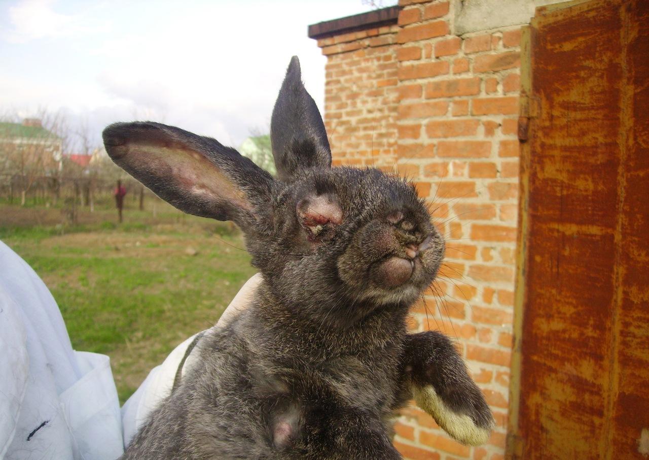 Лечение миксоматоза у кроликов в домашних условиях 912
