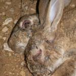 Заболевший кролик заболеванием миксоматоз