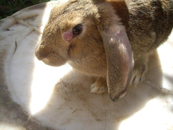 Лечение миксоматоза у кроликов в домашних условиях 25