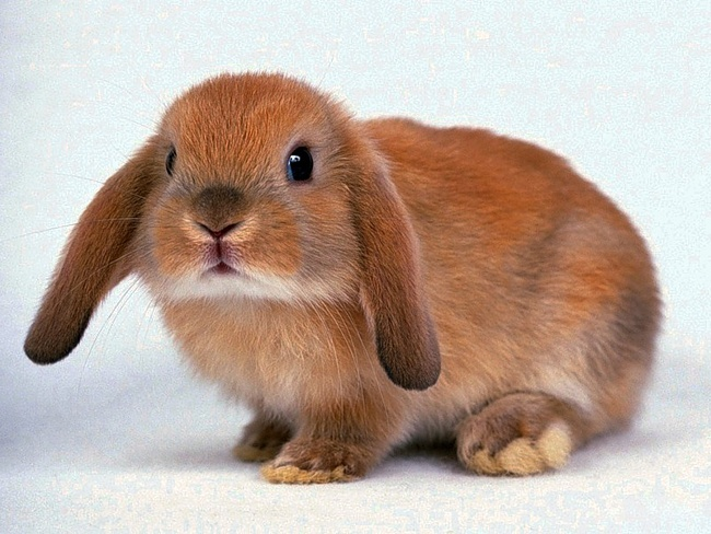 Голландский вислоухий кролик
