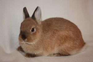 Как содержать декоративного кролика в домашних условиях