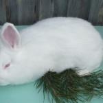 Новозеландская белая порода