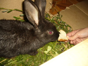 Кормит кролика хлебом