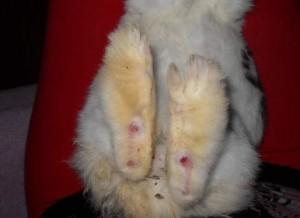 Натоптыши у кролика