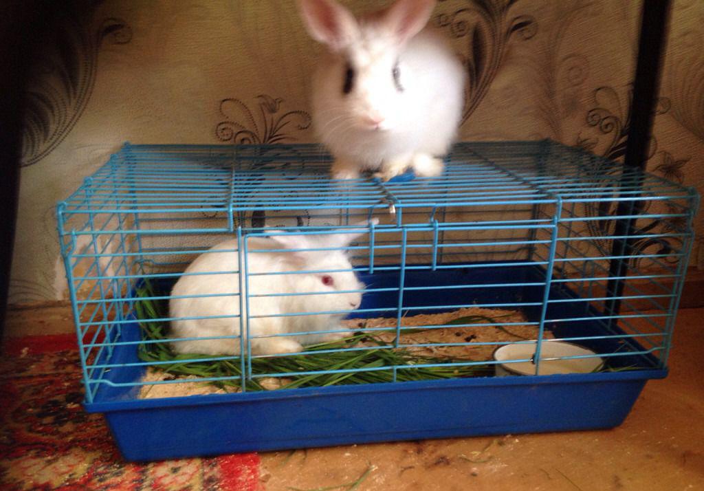 Как кормить декоративного кролика в домашних условиях 549