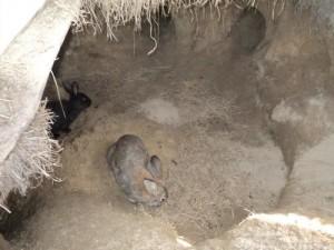 Содержание в ямах кроликов