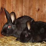 Чёрно-бурый кролик