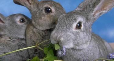 породы кроликов для разведения