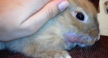 Инфекционный стоматит у кролика