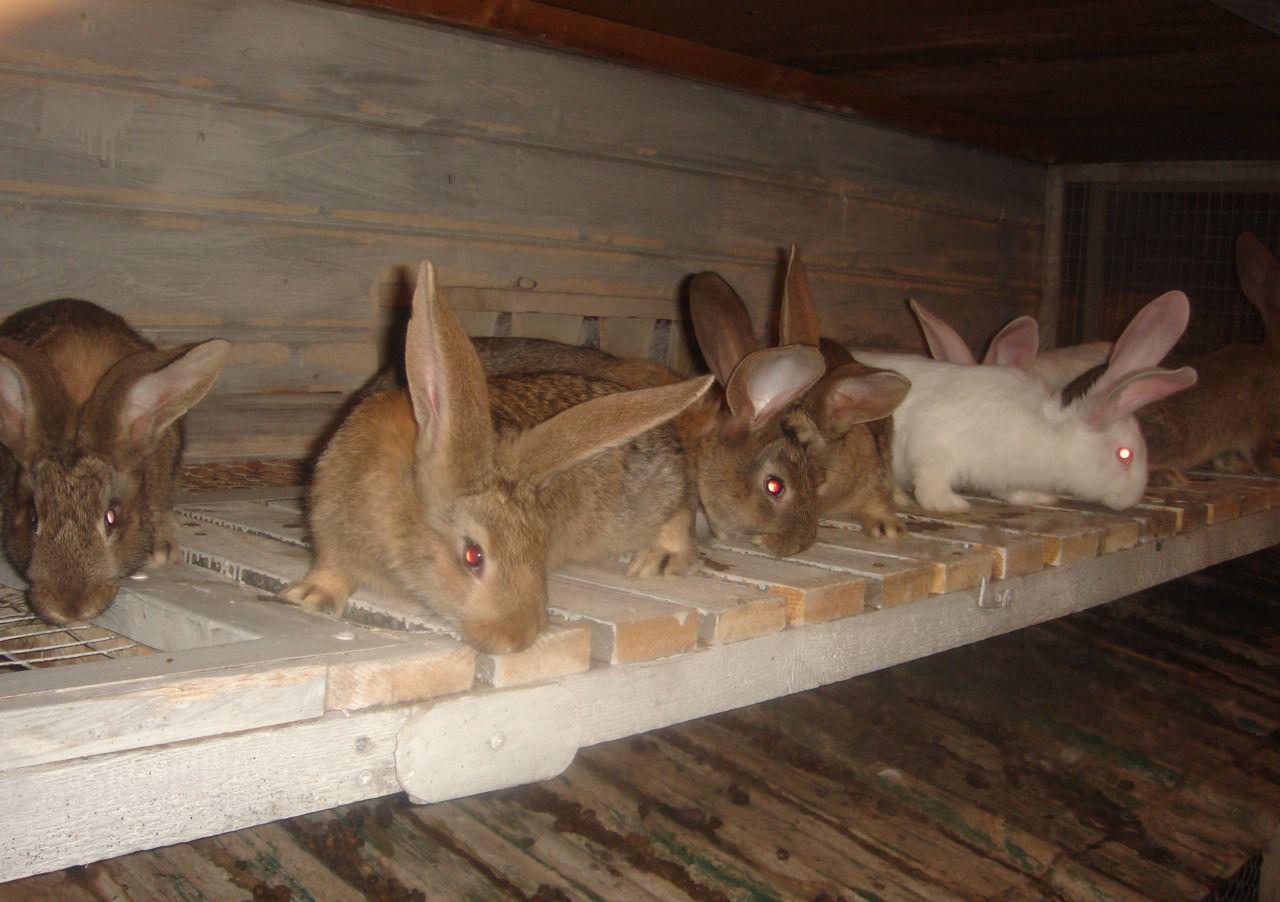 Кролик серый великан разведение и содержание в домашних условиях
