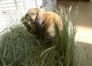 Кролик плохо ест сено