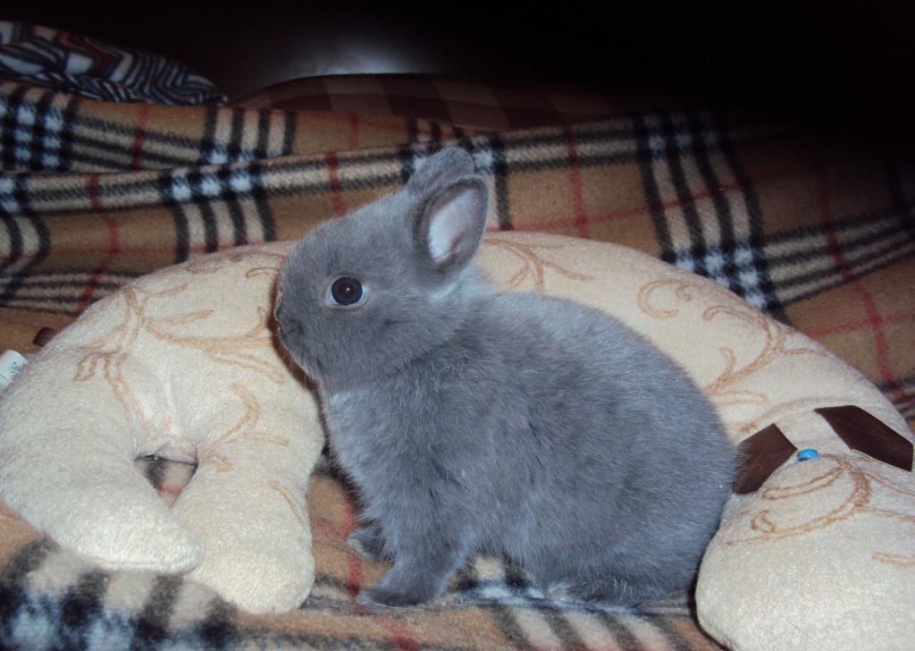 Кролик цветной карлик