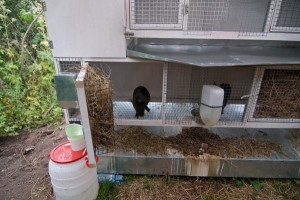 Шедовое содержание кроликов