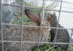 Кролик породы фландр в клетке