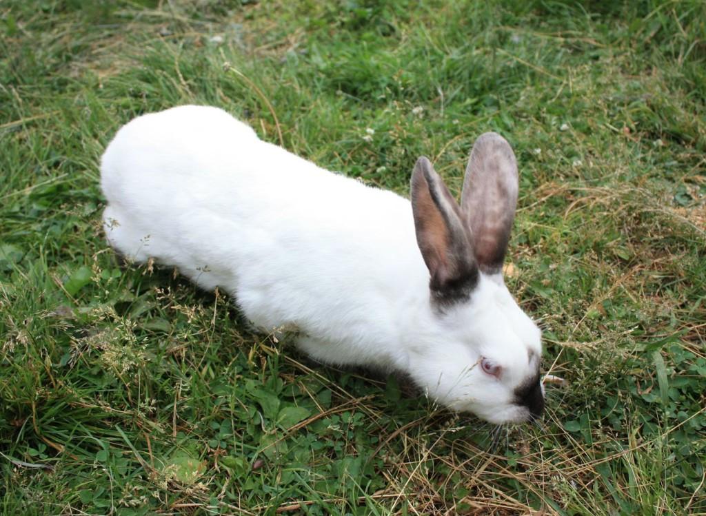 Калифорнийский кролик фото