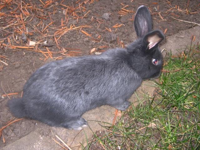 Кролик венский голубой