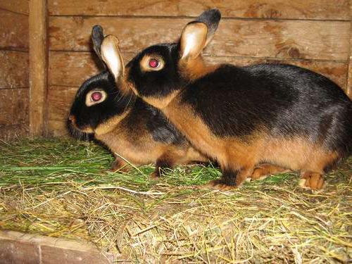 Чёрно-бурый кролик фото