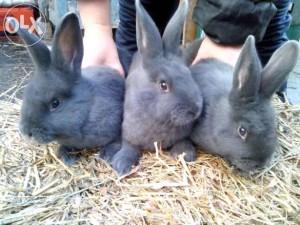 Три венских кролика