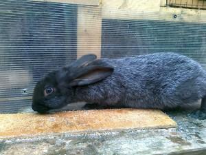 Забой кроликов - как проходит забой кроликов в домашних условиях ( видео)