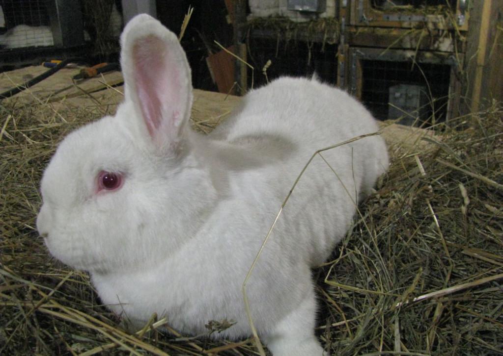 Новозеландские кролики - белая порода