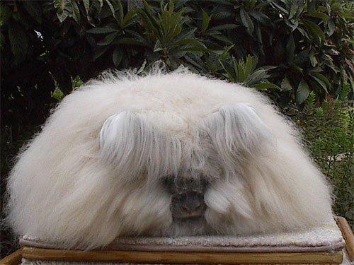Кролик Ангорский лев