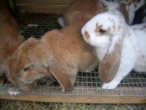 Разведение кроликов баран