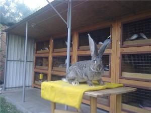 Кролики шеды своими руками