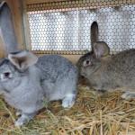 Кролики породы ризен