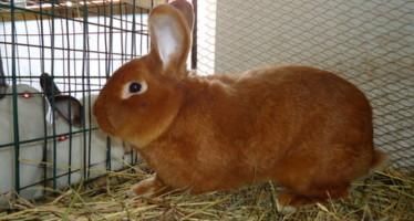 Новозеландский кролик - красный