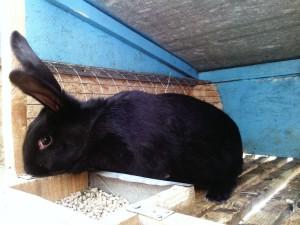 черно бурый кролик