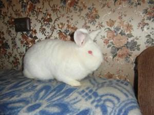 Новозеландский кролик - белый