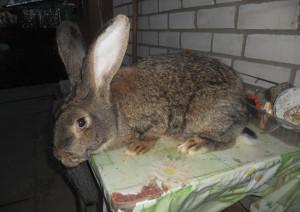 Кролик гигант, породы Ризен