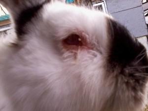 Проверка кролика на болезни
