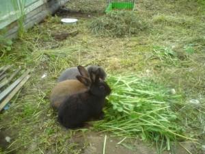 Запор у кролика - необходима помощь