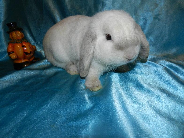 кролик породы Баран карликовый
