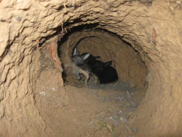 кролики в ямах