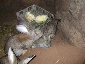 Разведение кроликов в ямах и норах