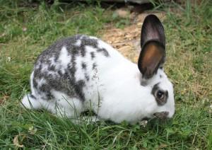 Кролик бабочка ест траву