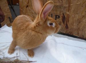 Бургундская порода кроликов