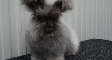 кролик ангорский пуховый